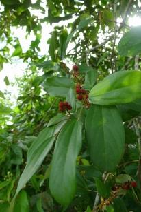 Banato or Kamala Mallotus philippensis