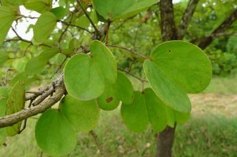Alibangbang Bauhinia malabarica