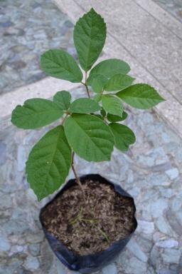 Gold Ipe Tabebuia chrysantha
