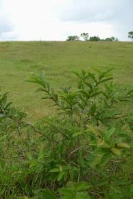 Guava Psidium guajava