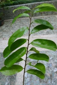 Guyabano Annona muricata