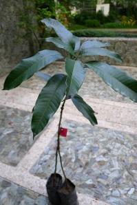 Mango Mangifera indica