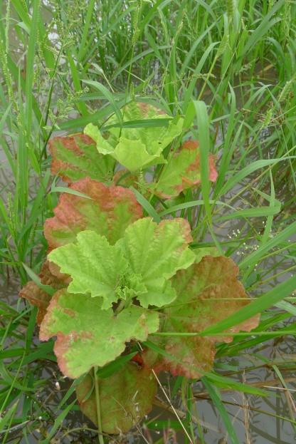 Malvaceae sp