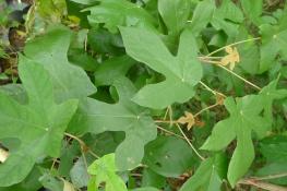 Bayok Pterospermum diversifolium