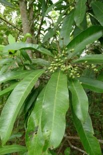 Balinghasai Buchanania arborescens