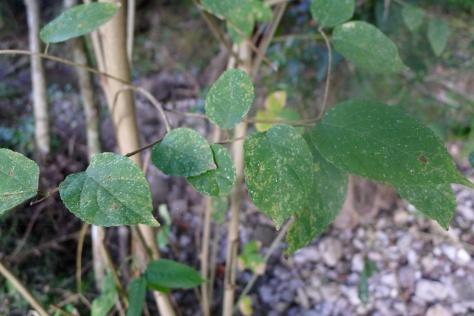 Himbabao Broussonettia luzonica