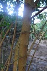 Mulawing Aso Gmelina elliptica (aka Talungud)