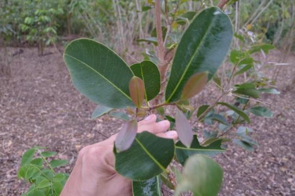 Duhat Syzygium cumini