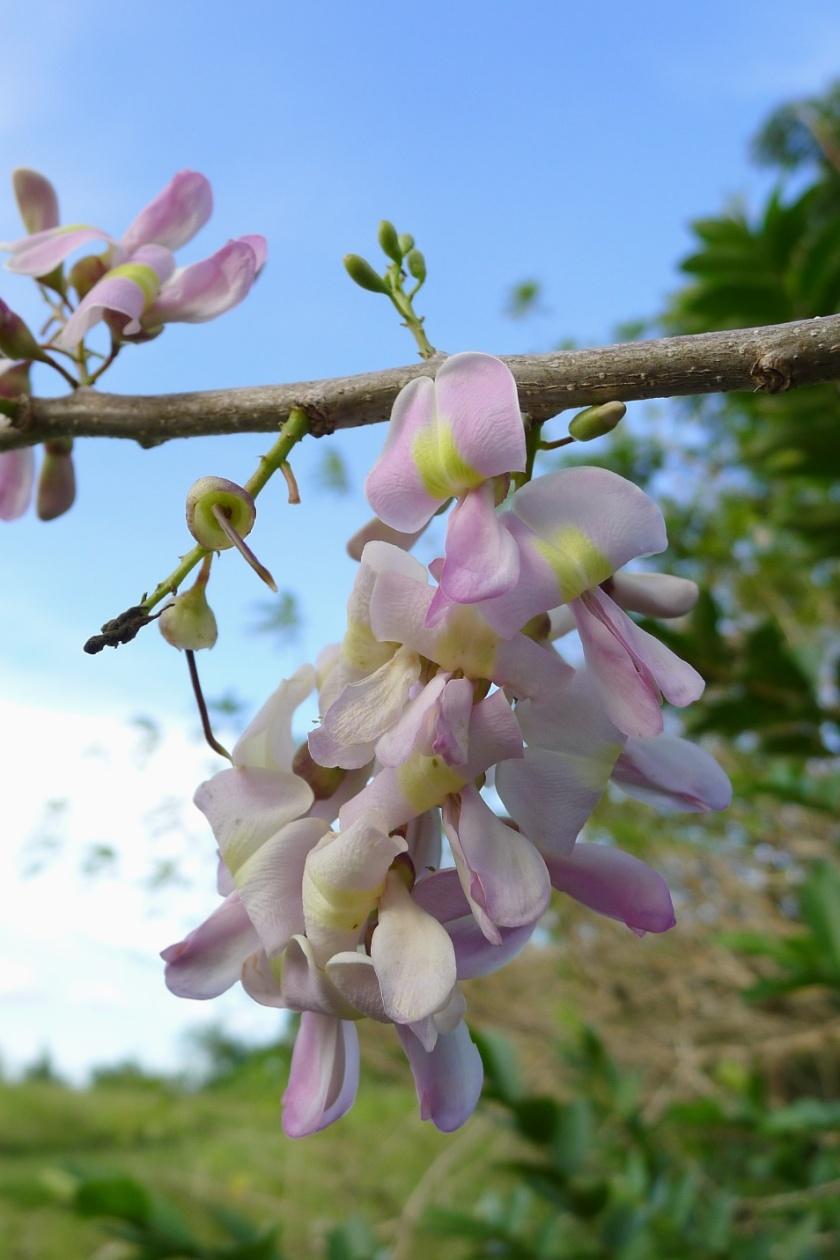 madre de cacao in bloom