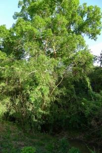 Balete Ficus balete (provisional ID)