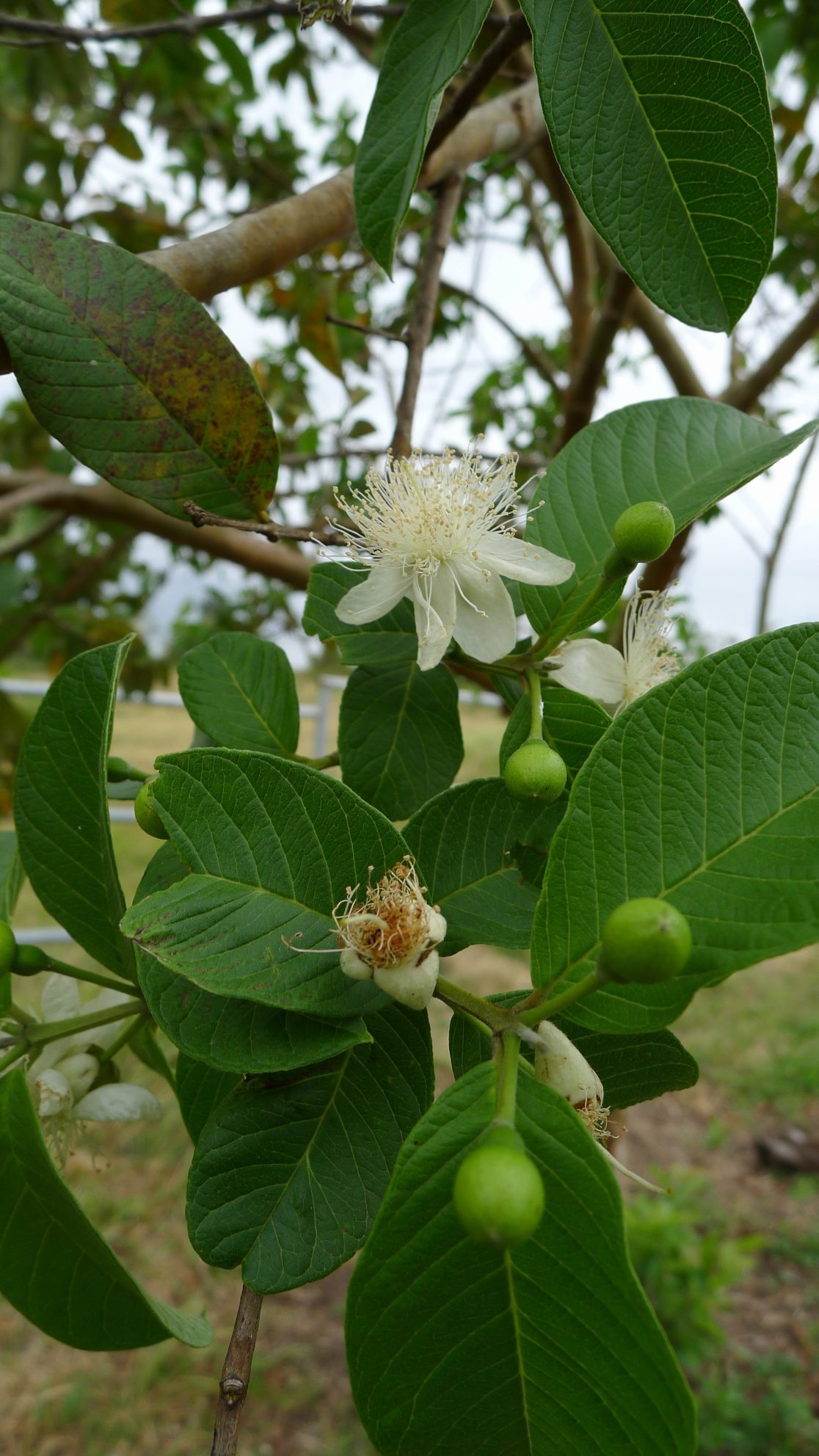 malunggay and guava leaves decoction Malunggay leaves can cure making herbal soap out of guava leaves at guava or  psidium the fresh and dried leaves can both be used for the decoction.