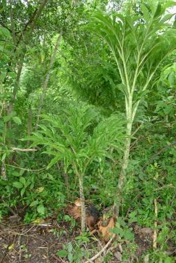 Punggapung Amorphophallus campanulatus