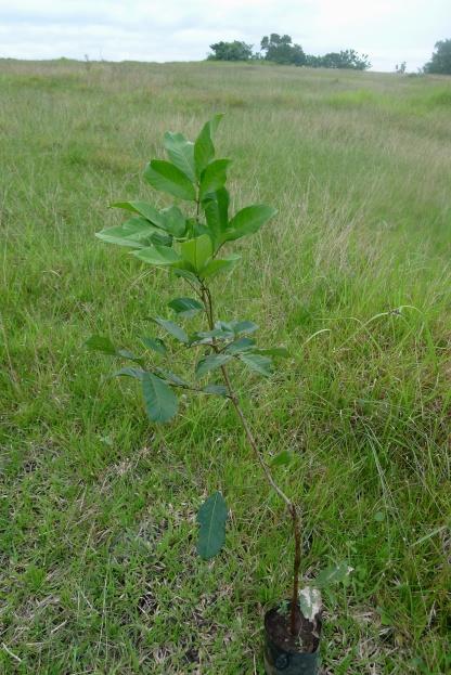Rambutan Nephelium lappaceum