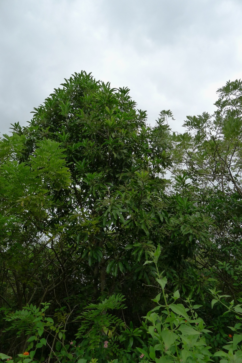 medium sized to large tree up to 25 meters
