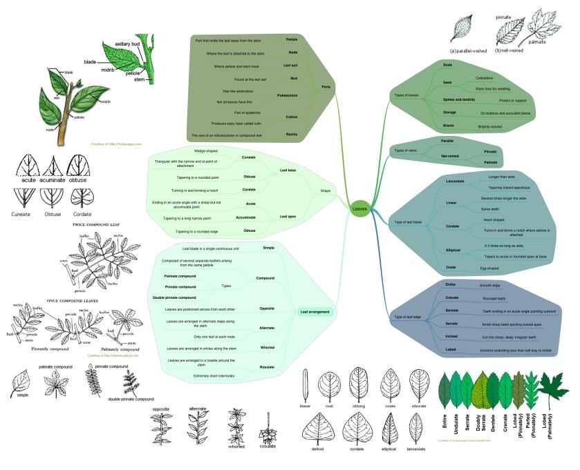 Basic Botany - leaves