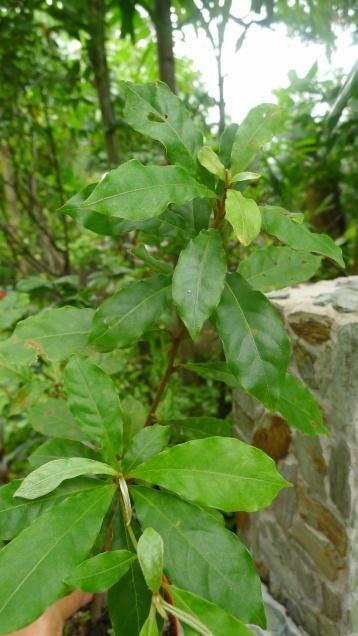 Kalumpit Terminalia microcarpa