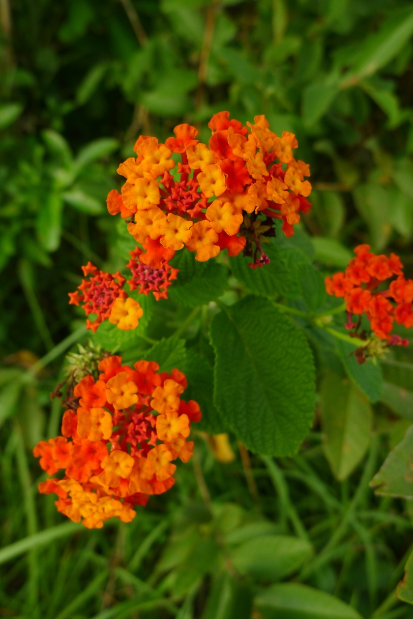 deep orange and red Lantana camara