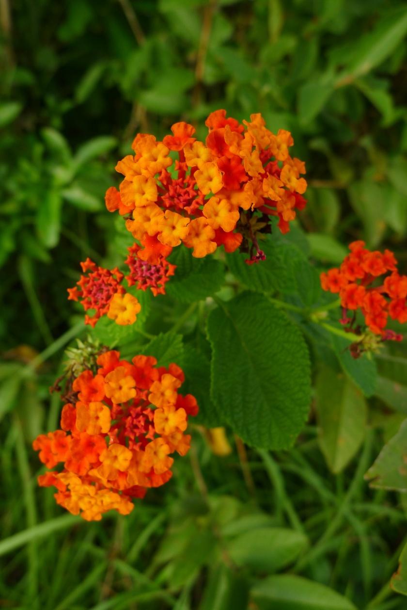deep orange and red Lantana camara