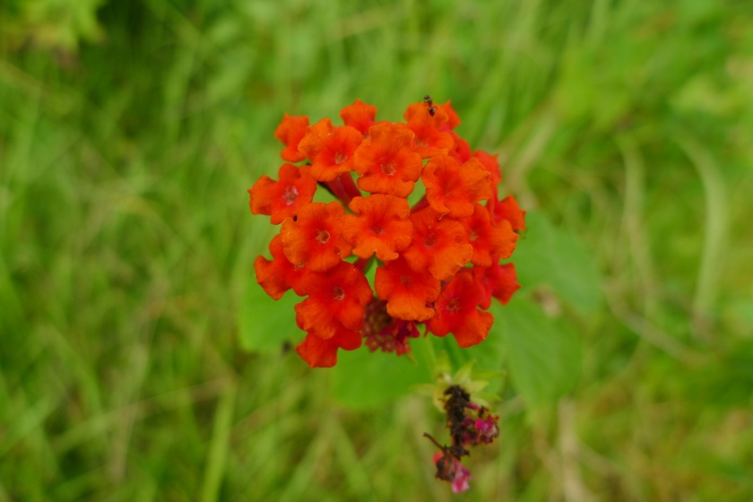 an amazingly red Lantana camara