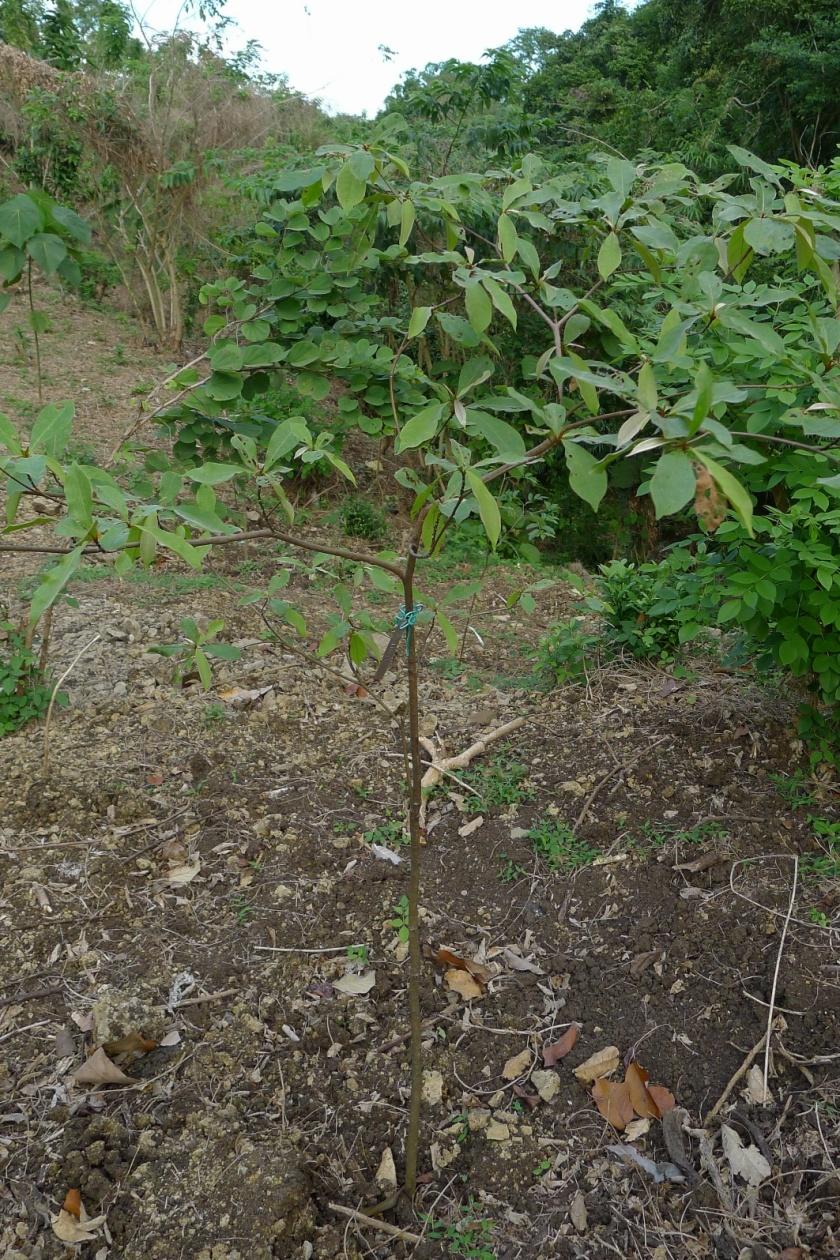 Kalumpit sapling planted November 2012