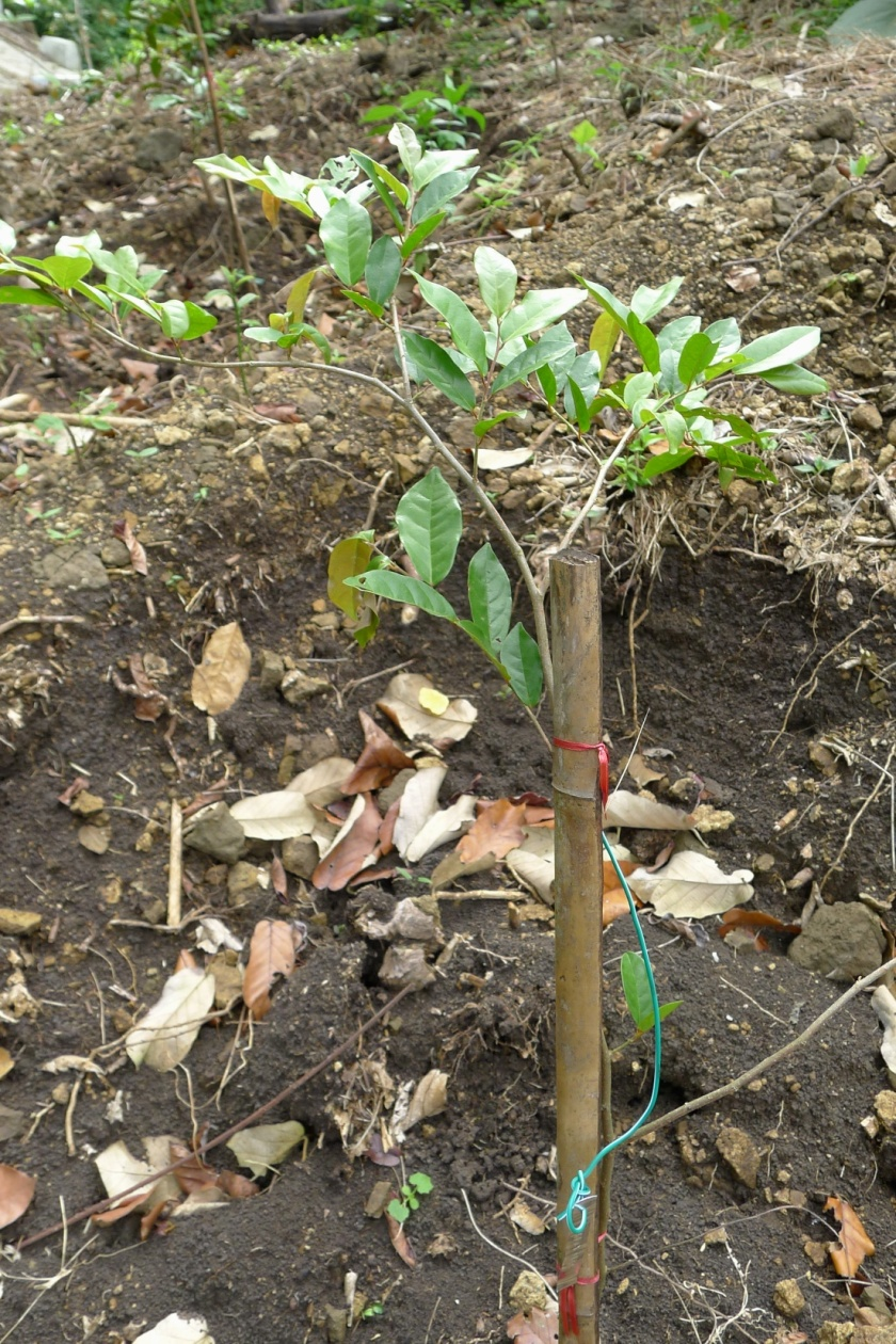 Bignay-pugo sapling with support stake