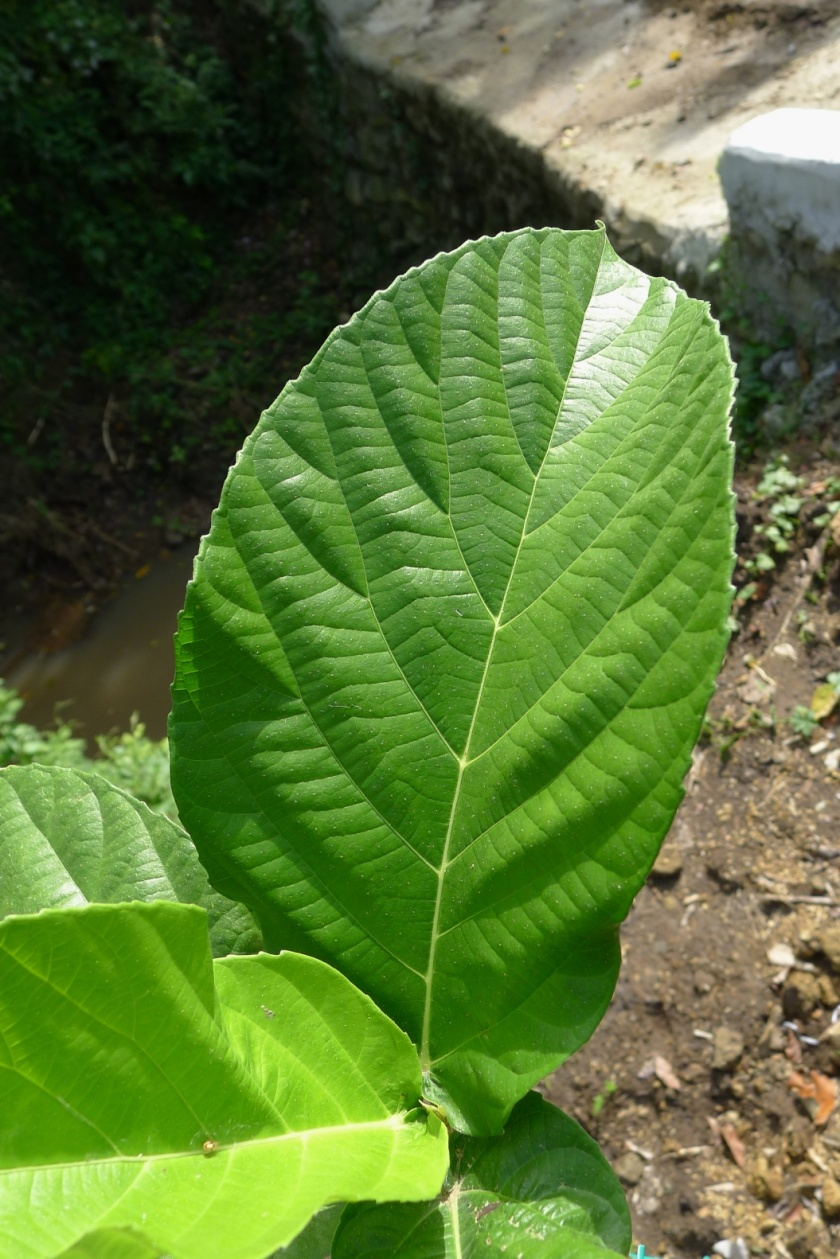 serrated edge of the leaf