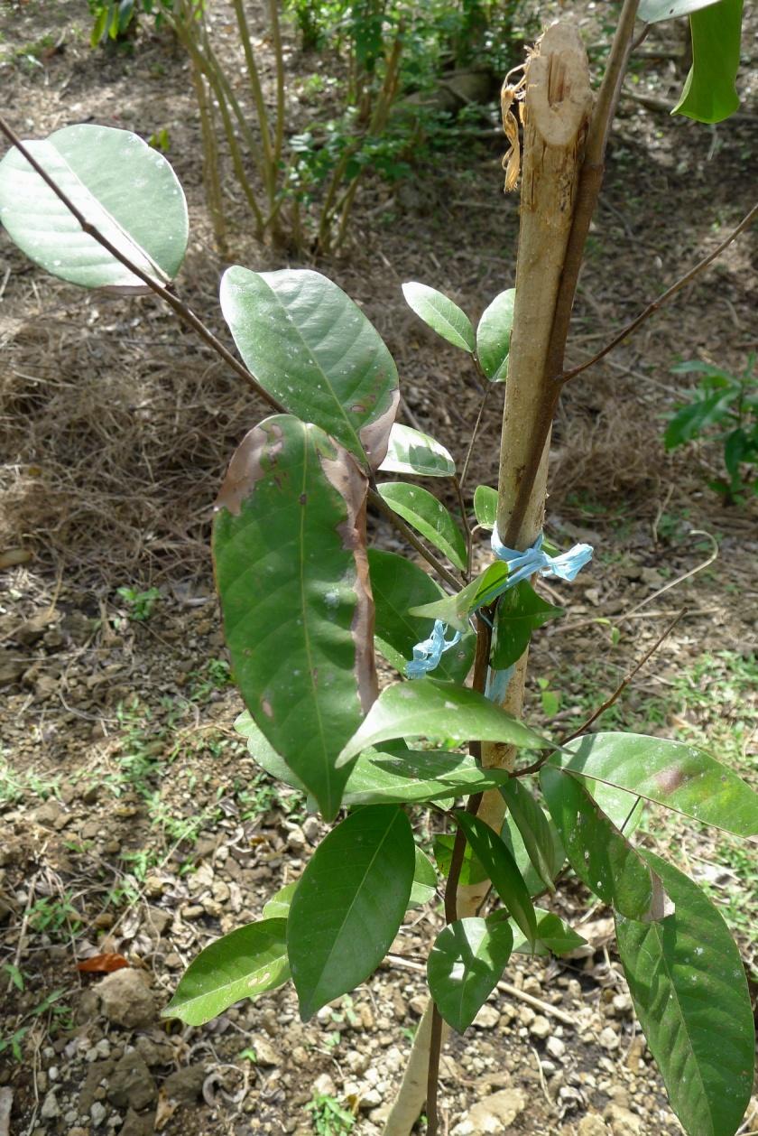 Yakal sapling planted on November 2012