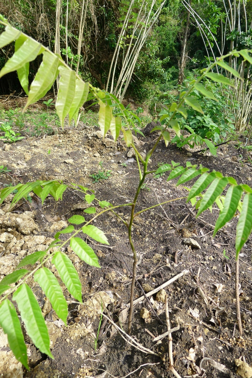 Before - sapling planted in November 2012