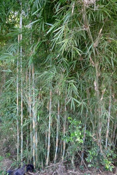 Kawayan Bambusa sp