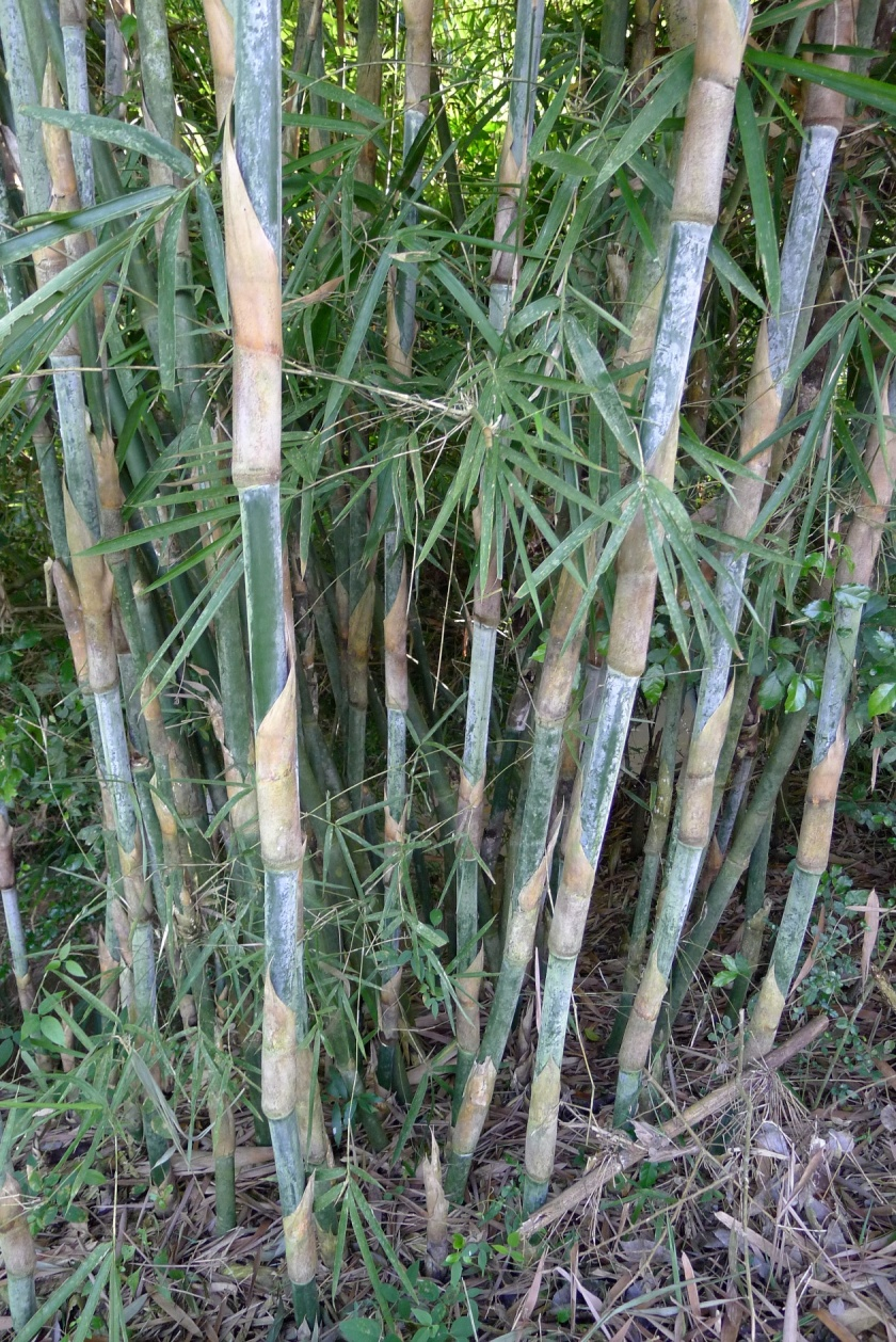 small stand of bamboo