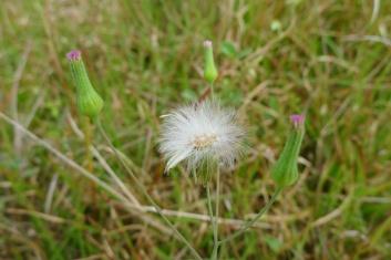 Tagulinaw Emilia sonchifolia