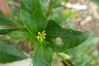 Cinderella weed Syndrella nodiflora