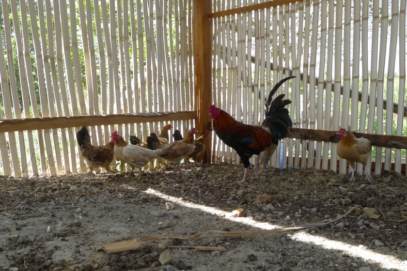 And now, chickens too! We have chickens!