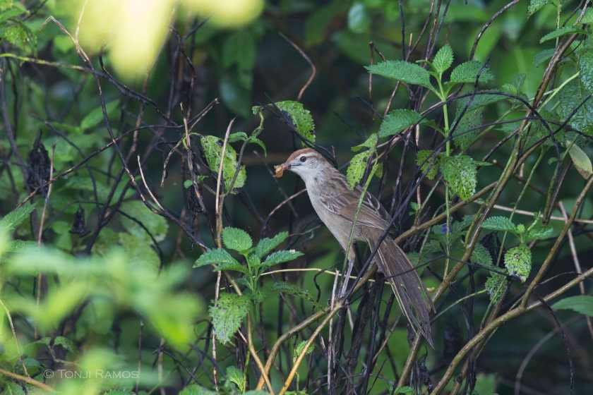 tawny grass bird 2 aug 2014