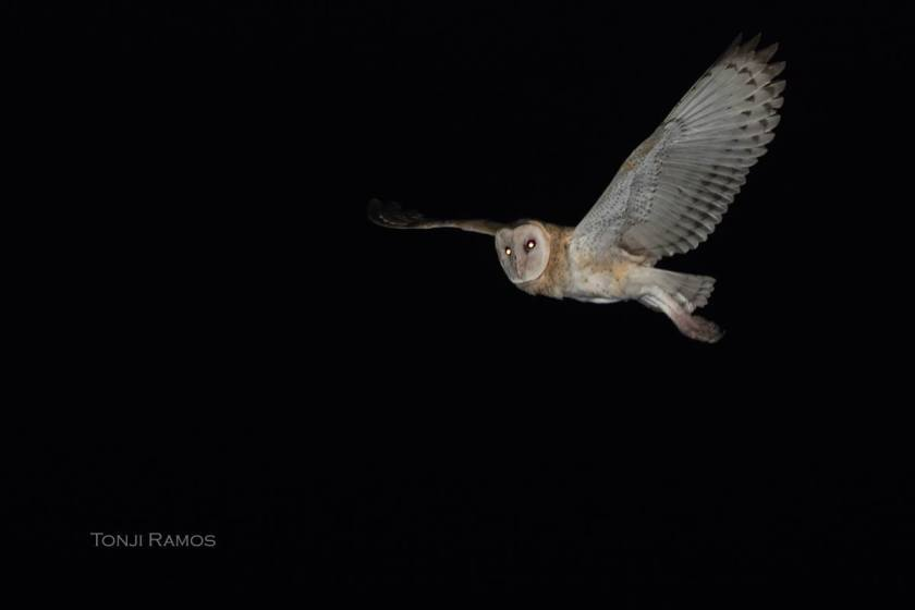 Tonji's picture of the owl in flight at night.
