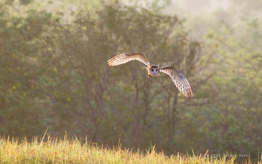 owl in flight early in the morning