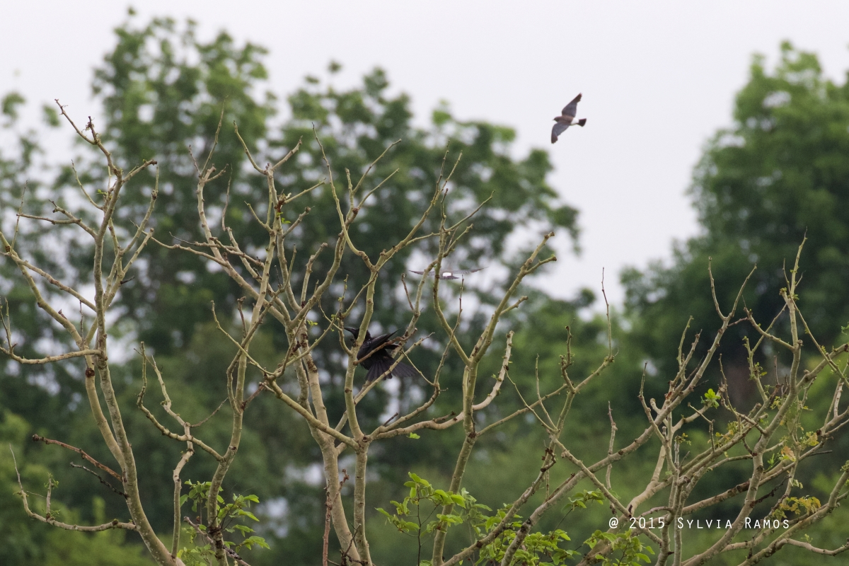 Crow vs Woodswallow
