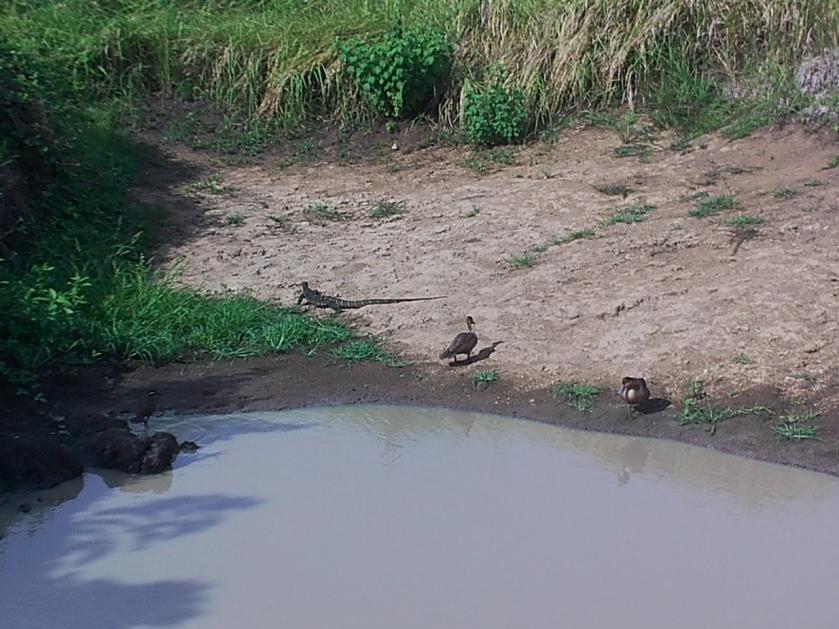 L-R: Barred Rail, Monitor Lizard, 2 Philippine Ducks