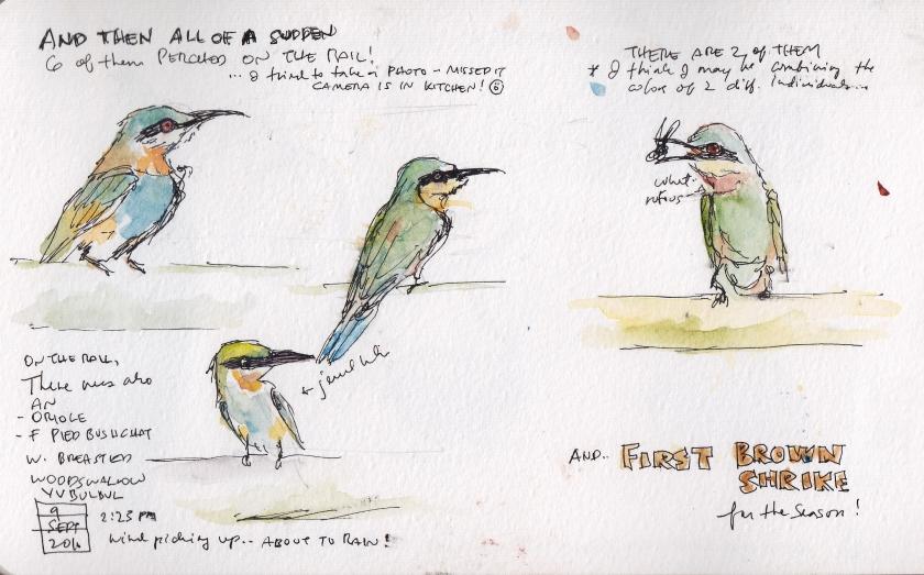 sept-9-bee-eater