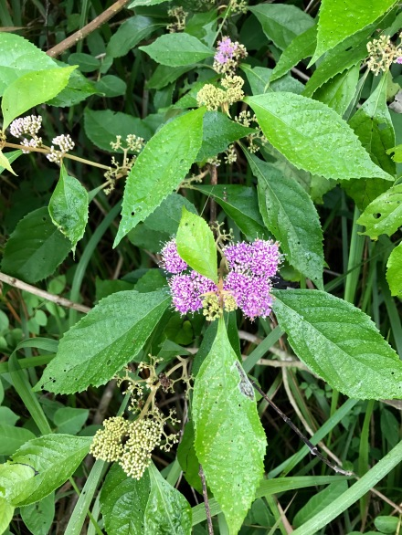 Beauty Berry Callicarpa sp