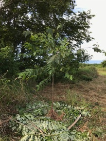 Bagras Eucalyptus deglupta