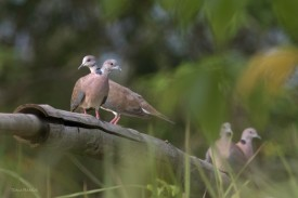 Island Collared Dove