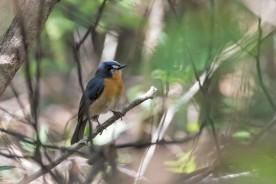 Mangrove Flycatcher