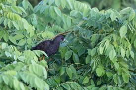 Plain Bush-hen
