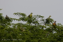 Philippine Green Pigeon and Pink-necked Green Pigeon
