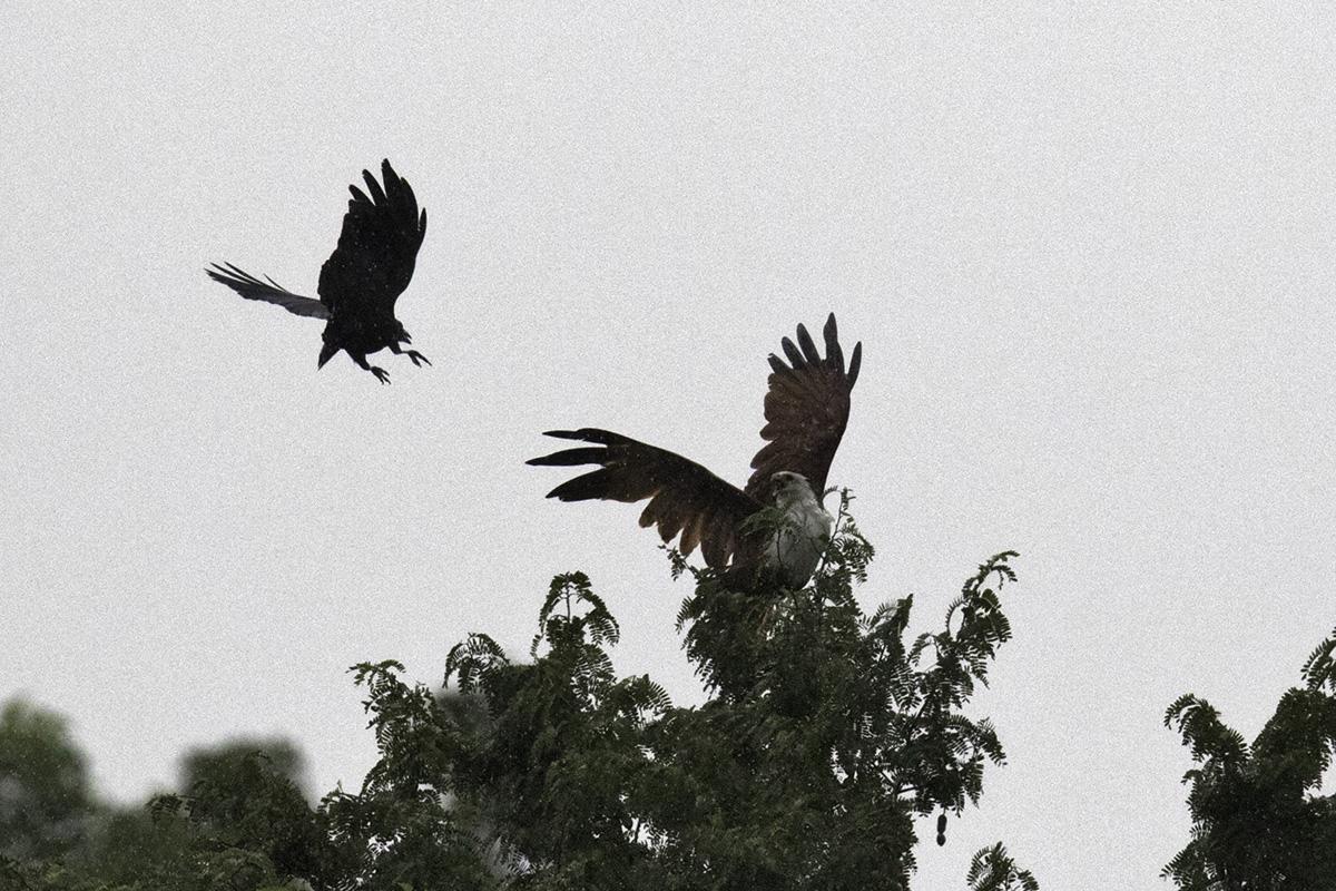 crow and bkite 2018 tss 2.jpg
