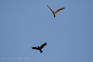 Tali vs Crow