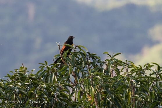 Philippine Coucal on top of a mango tree