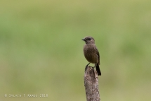 4 pied birds -- Pied Bushchat