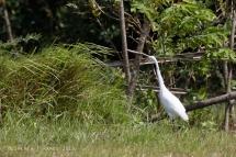 Intermediate Egret near the cottage